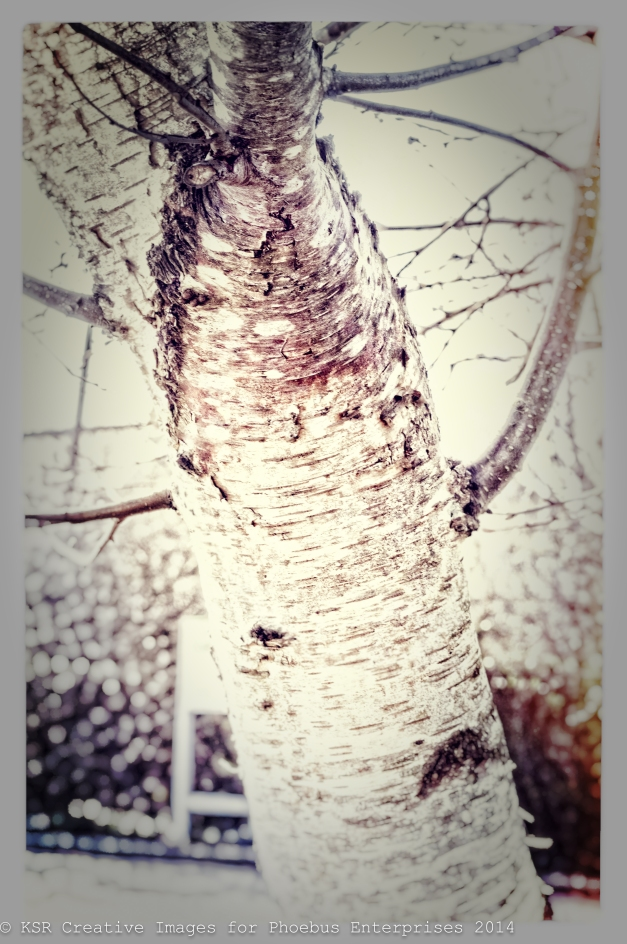 Silver Birch Tree in Co-Op car park in Pyle. Sunday 9th March 2014