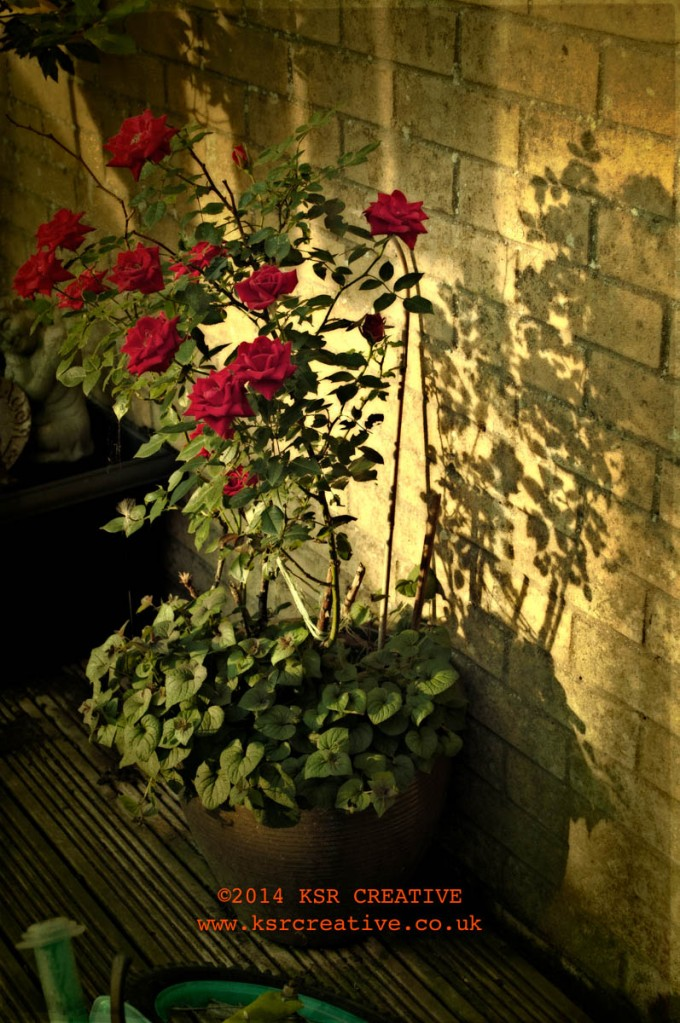 The return of the rose bush