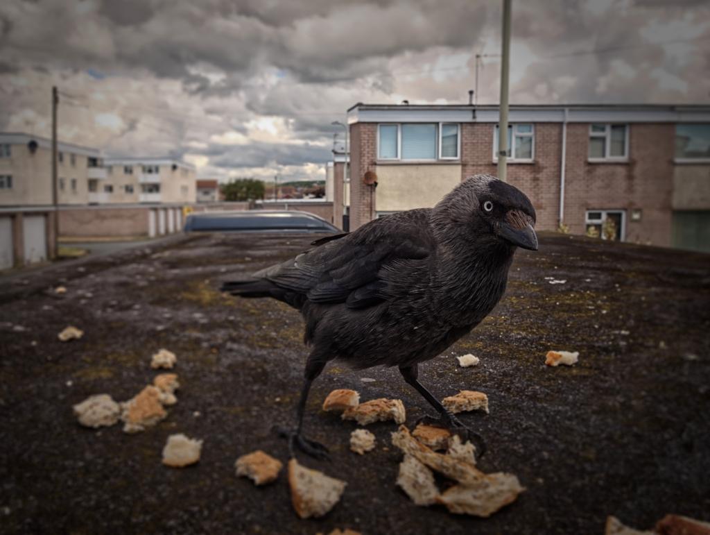 Crow?